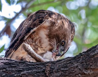 Red-shouldered Hawk eating Rabbit