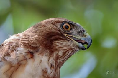 Juvenile Red Shouldered Hawk Portrait