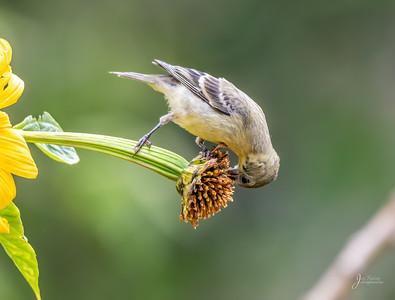 Female Lesser Goldfinch on Flower