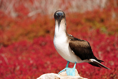 Everyone loves the Blue Footed Boobies.