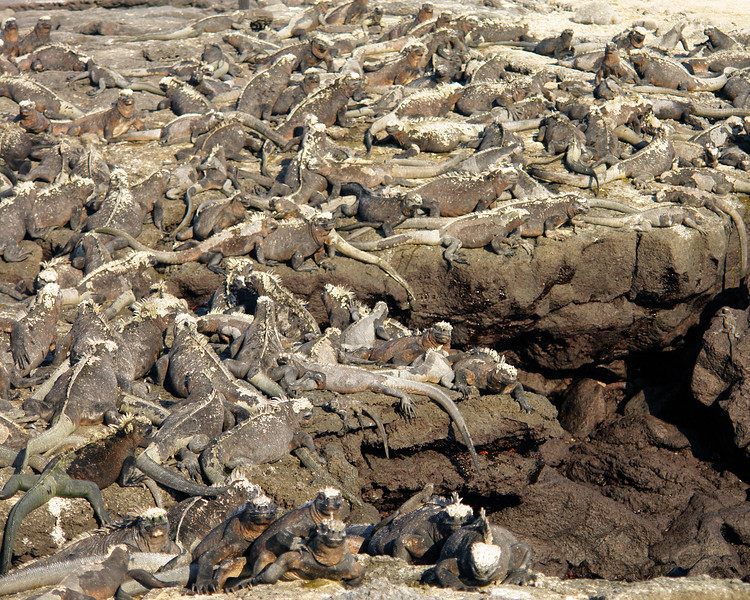 If you haven't noticed, take a closer look.  These rocks are simply covered with iguana.