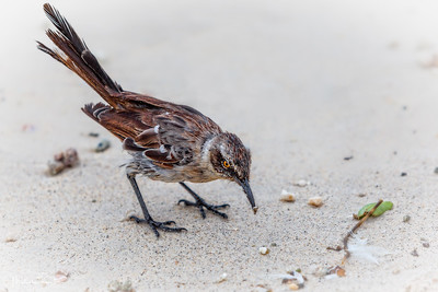 Galapagos Mockingbird on Darwin Beach