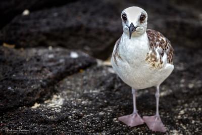 Juvenile Swallow-Tailed Gull