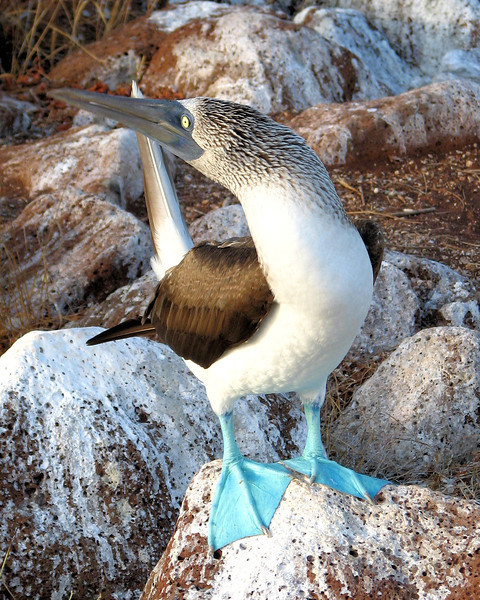 Did you know that Blue-Footed Booby really has blue feet?