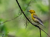 Prothonatary Warbler - Prothonatary Pond, Boy Scout Woods