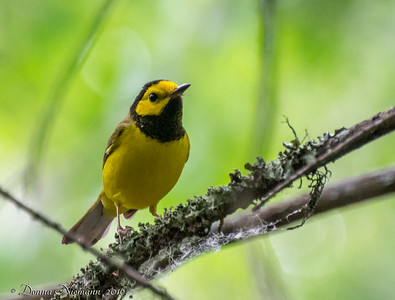 Hooded Warbler - Boy Scout Woods