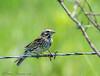 Savannah Sparrow - Anahauc NWR