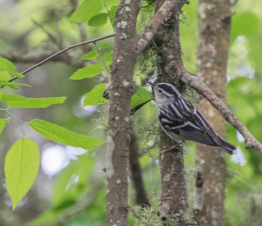 Blacki and White Warbler