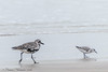 Black Bellied Plover and Sanderling - Bolivar Flats area