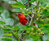Scarlet Tanager - Smith Oak's Woods, High Island