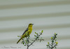 Female Orchard Oriole - Lafittes Cove