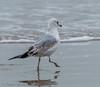 Ring Billed Gull?  - Bolivar Flats area