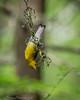 Prothonatary Warbler - Prothonatary Pond, Boy Scout Woods