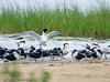Royal (?) Terns and Black Skimmers - Rollover Pass, Bolivar Peninsula