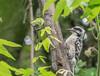 Ladderbacked Woodpecker