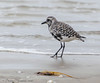 Black Bellied Plover - Bolivar Flats area