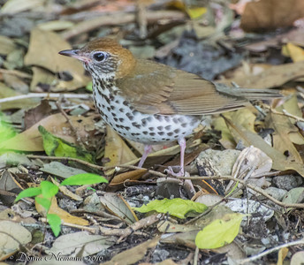 Wood Thrush - Boy Scout Woods