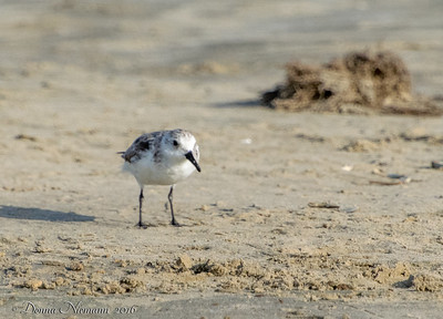 Sanderling (right?) - Bolivar Flats