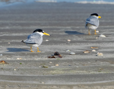 Least Terns - Bolivar Flats