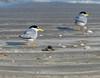 Least Terns - Bolivar Flats