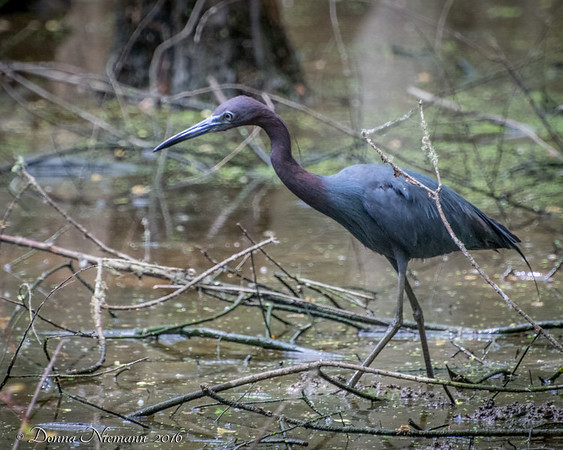 Little Blue Egret - Prothonatary Pond, Boy Scout Woods