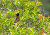 Orchard Oriole - HAS yard, Boy Scout Woods, High Island