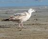 Immature Herring Gull ? - Bolivar Flats