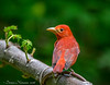 Scarlet Tanager = Lafittes Cove