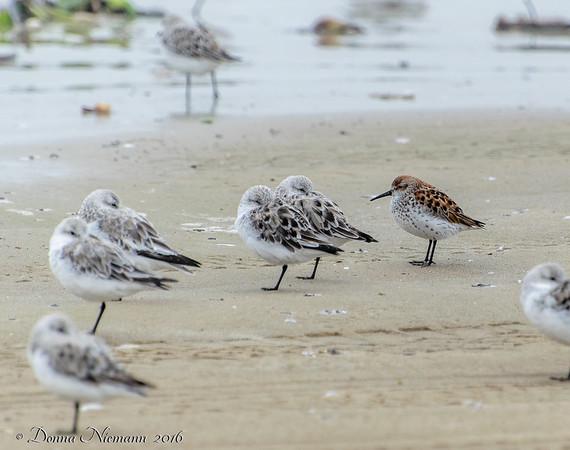 ?  and Sanderlings - Bolivar Flats area