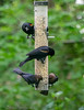 Red winged Blackbirds and Brown Headed Cowbirds - HAS yard, Boy Scout Woods, High Island