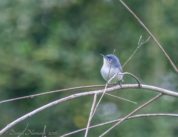 Blue Gray Gnatcatcher - Corp Woods, Galveston Island