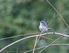 Blue Gray Gnatcatcher - Corp Woods, Galveston Island