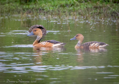 Fulvous Whistling Duck - 11 Mile Road