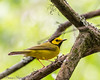 Hooded Warbler = Boy Scout Woods