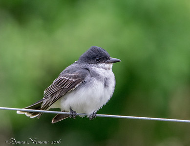 Eastern Kingbird - 11 Mile Road