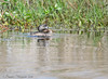 Pie Billed Grebe - Anahuac NWR