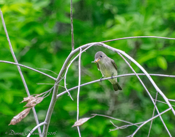 Eastern Wood Pewee?? - Corp Woods, Galveston Island