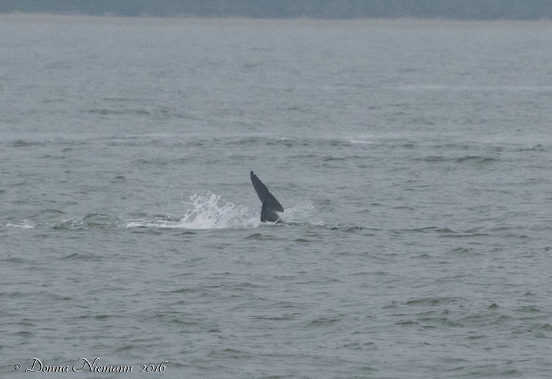 From The Ferry...  Dolphins!!