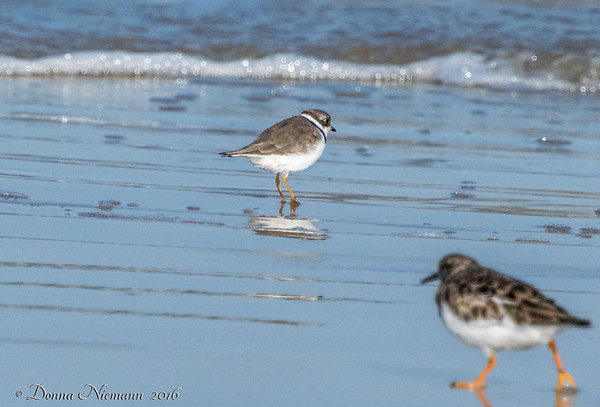 Semipalmated Plover, Bolivar Flats