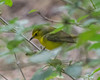 Prothonatary Warbler