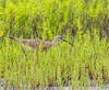 Whimbrel - Yacht Basin Road, Bolivar Peninsula