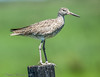 Willet - Anahuac NWR