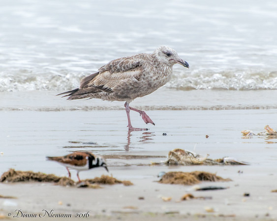 Herring Gull and Ruddy Turnstone (to show sizes) - Bolivar Flats area
