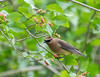 Cedar Waxwing  - HAS yard, Boy Scout Woods, High Island