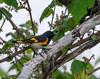 American Redstart - Yacht Basin Road, Bolivar Peninsula