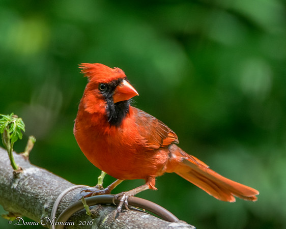 Northern Cardinal - Lafittes Cove