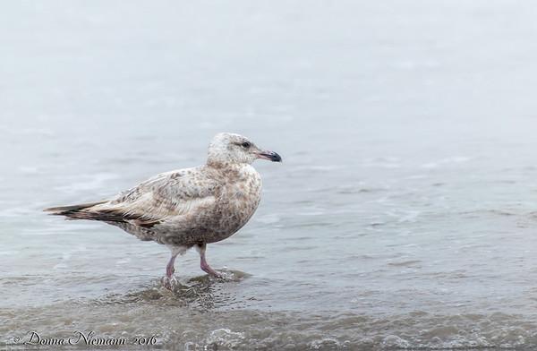 Herring Gull?  - Bolivar Flats area