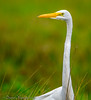 Great Egret - 8 Mile Rd