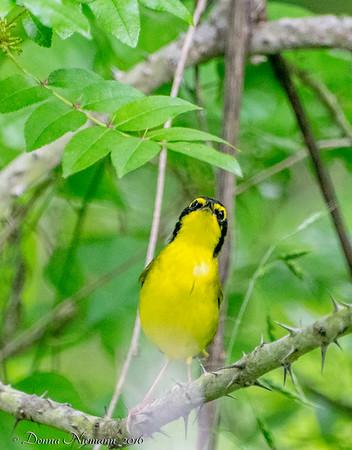 Kentucky Warbler - Corp Woods, Galveston Island