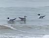 Laughing Gulls? - Bolivar Flats area